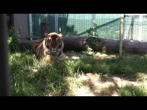 Rescued Tiger Loves His New Home