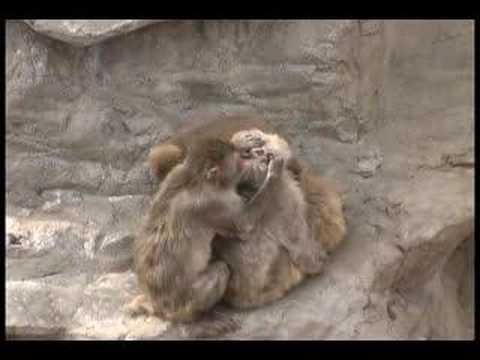 旭山動物園の「さる山」