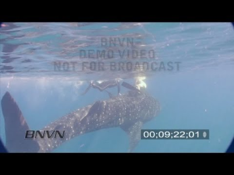 Gulf Of Mexico - Whale Sharks And Scuba Divers