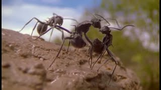Ants | Attenborough: Life in the Undergrowth | BBC