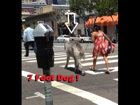 [7 Foot Tall Dog ! Must See this Giant !] Video
