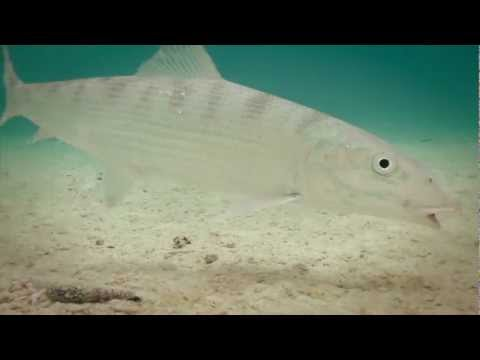 Itu's Bones Trailer - Fly fishing for Bonefish on Aitutaki