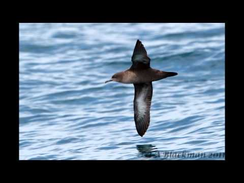 29 March 2011 Pelagic Birds and Fish - San Diego