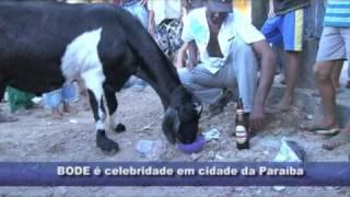 bode é celebridade em cidade paraibana