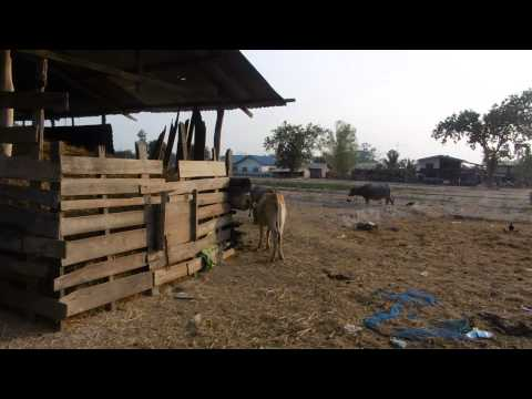 Farm Animal, Pakse, Laos