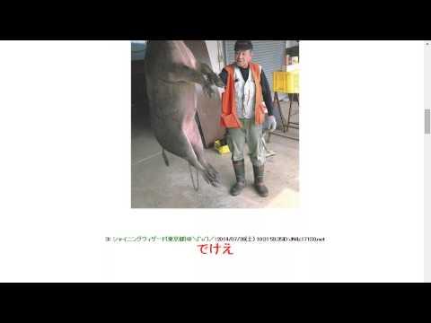 2014726【イノシシ速報】神奈川県で巨大イノシシが捕獲される