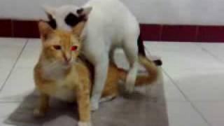 jeddah kucing kawin