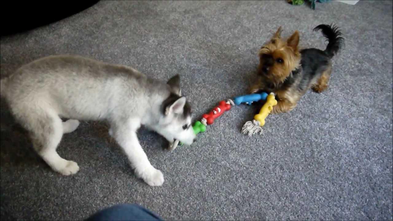 Husky and Yorkie Playing Yorkie Husky Puppies