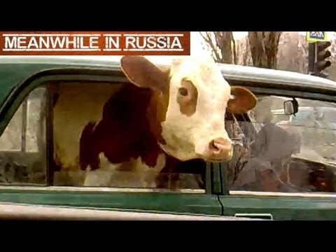 Cow In A Car