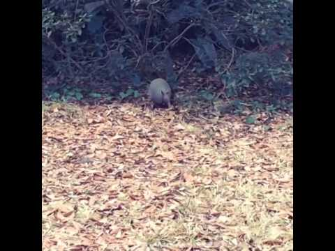 Dillo Jean - a leaf-gathering armadillo dances to Billie Jean