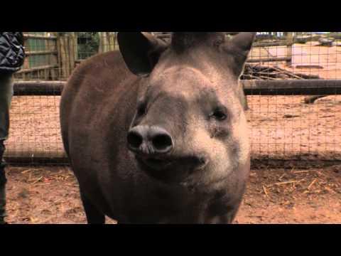 Lemon La Vida Loca - Tickle a Tapir