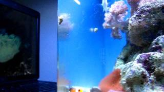 How to train a tank bred(aqua cultured) Clown Fish to host an Anemone