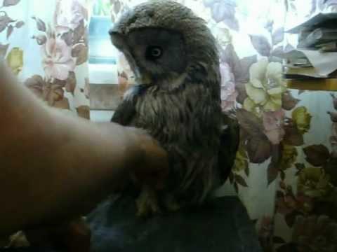 сова в городе. owl