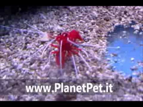 Lysmata Debelius – www.PlanetPet.it