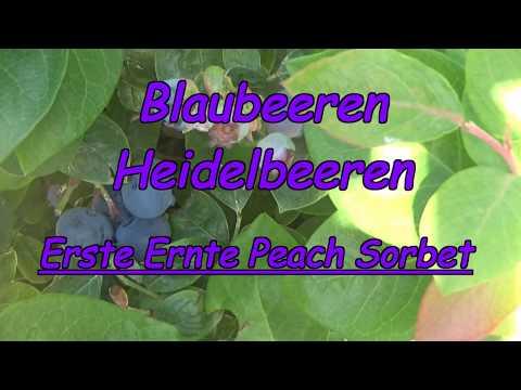Blaubeeren erste Ernte ! Blaubeeren aus dem eigenen Garten oder dem Balkon