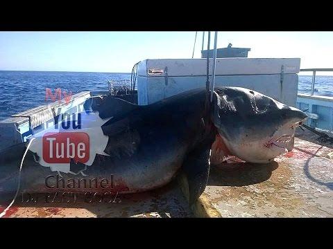 AUSTRALIA Enorme tiburón de 6 metros fue cazado mientras se comía a otro