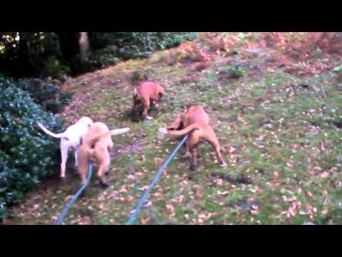 Caza de jabali con perros de rastro.