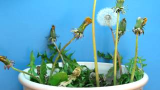 Time Lapse of Dandelions Blooming and Going to Seed