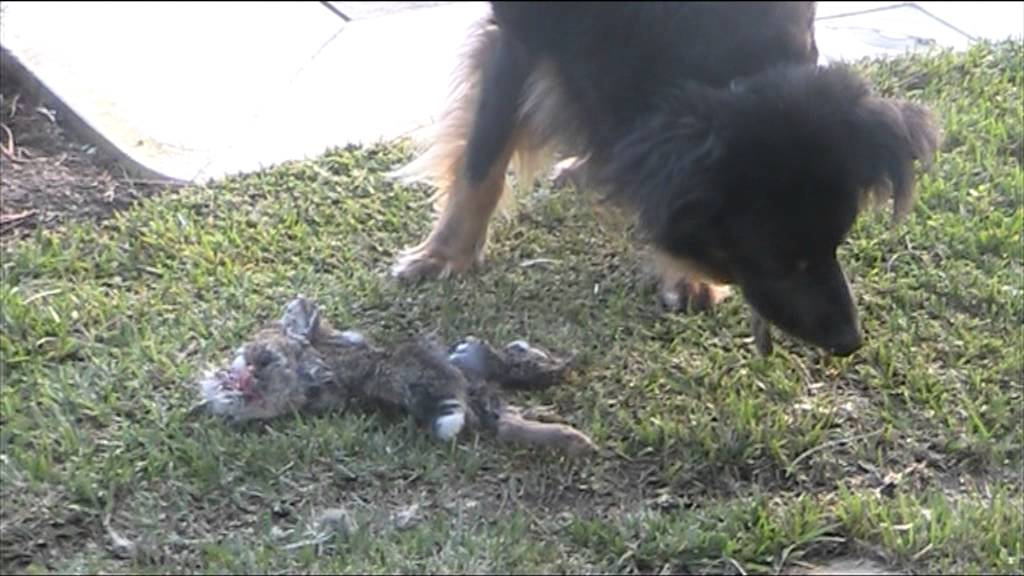 Coyote Eating Dog Dog Eating a Rabbit