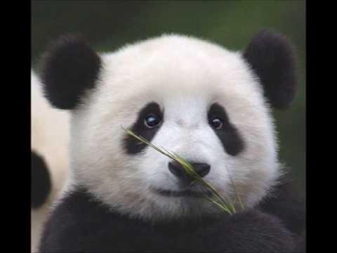 100 Folk Celsius - Panda Maci