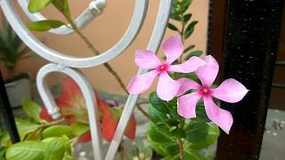 flower background video no copyright