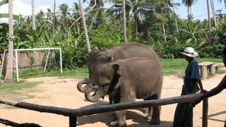 Thai Elephant playing the harmonica in Koh Samui, Thailand