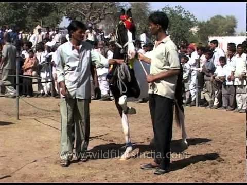 Pushkar Cattle Fair May The