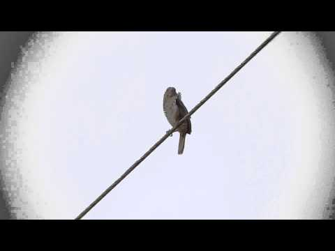 Canto Do Tico-tico-do-campo - Singing Bird - Ammodramus Humeralis video