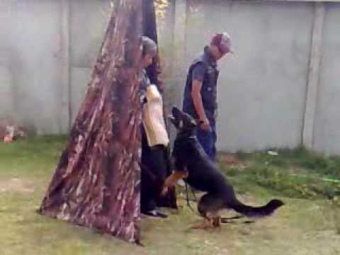 Blue Training Schutzhund Xxx.mp4 video