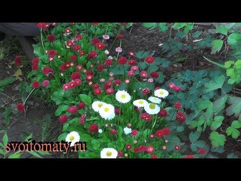 Маргаритки фото цветов рассада когда сажать 25