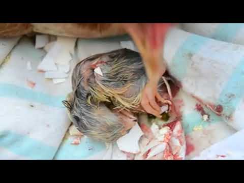Nacimiento pollito - Santuario Gaia
