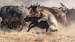 Lion Tiger Attacks and Eat Alive Calf    Poor Baby Animals