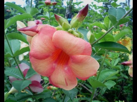 Header of Allamanda blanchetii