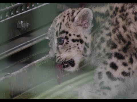 ユキヒョウの赤ちゃんの給餌風景~Snow Leopard Baby