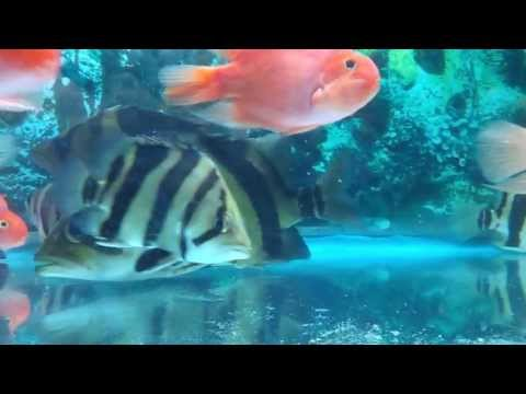 siamese tigerfish (datnoid) for sale