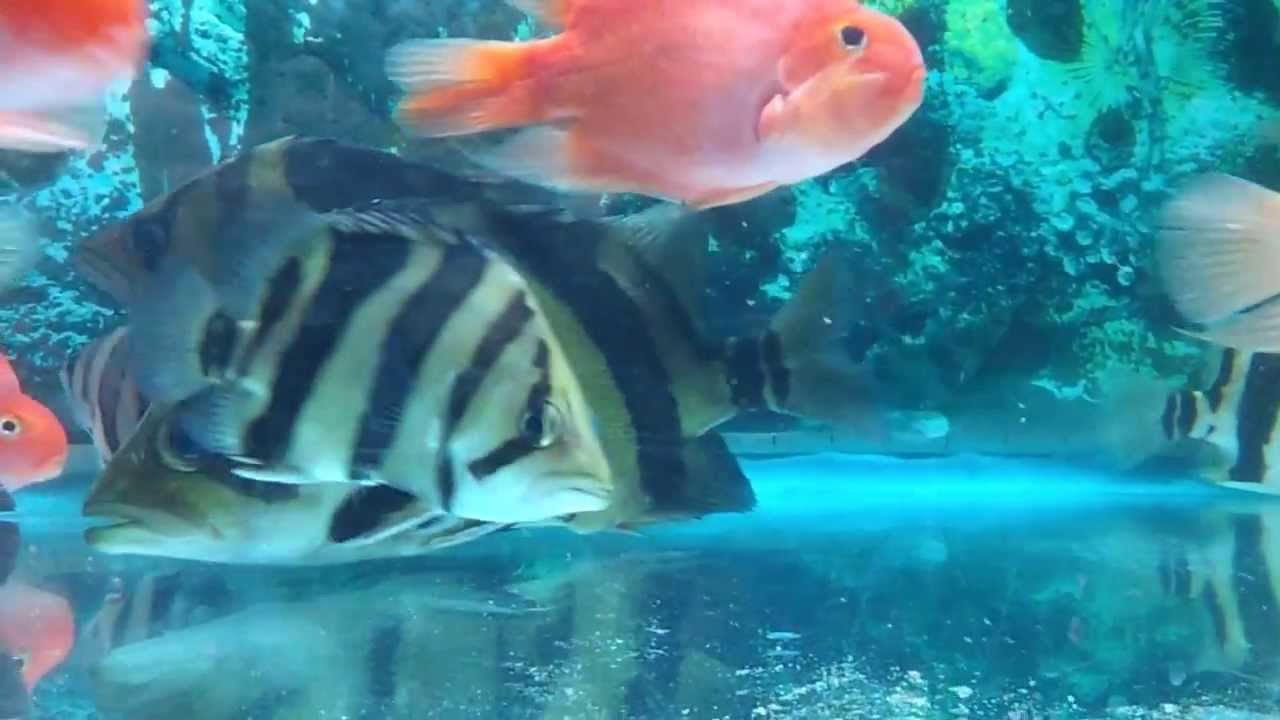 Asiamese Tigerfish : siamese tigerfish (datnoid) for sale - YouTube