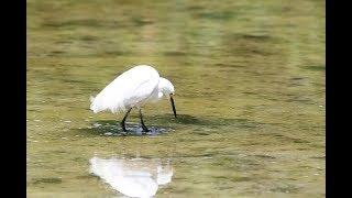 Bird-wisdom ???? Foot-shuffle Food hunt on Sanibel Island