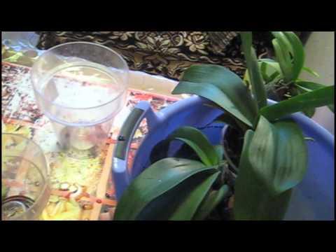 Как я поливаю орхидеи / Замачивание в тазике