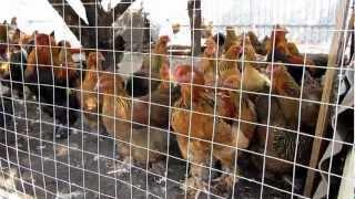 Откорм индюков на мясо в домашних условиях в ютубе - OldKurgan.Ru