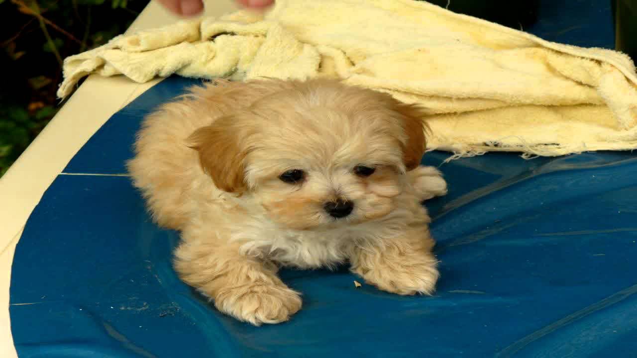 This Is Cindy Cindy Is A Maltese Shih Tzu Cross Pomeranian