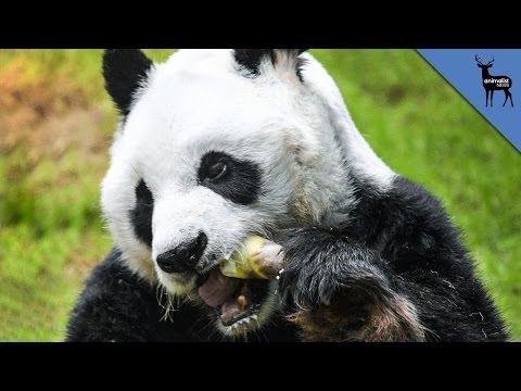 Panda Fakes Pregnancy For Food