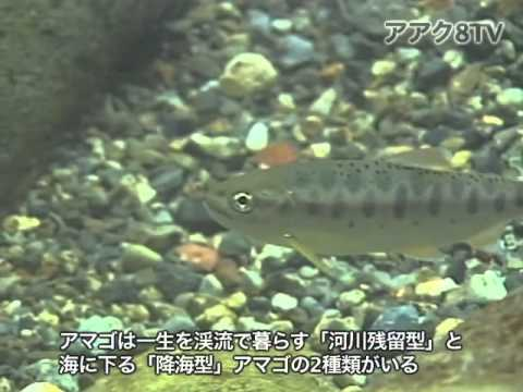 アアク8TV水中映像 ×Goovie 岐阜県の魚類19 アマゴの産卵