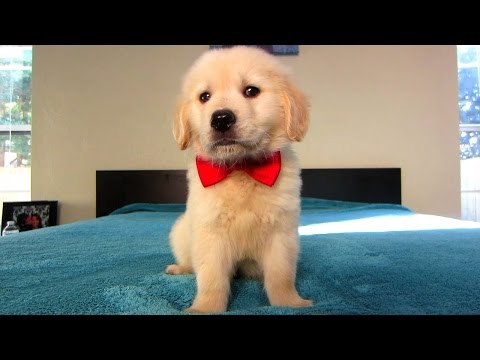 Cooper's First Valentine's Day (Golden Retriever Puppy)