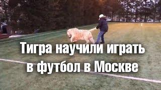 Тигра научили играть в футбол в Москве
