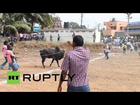 «Индийская коррида»  41 человек пострадал на боях быков в штате Тамилнад