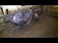 На свиноферме в Белоярском районе от голода умирают свиньи