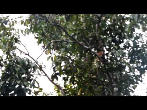 Malaysia - Borneo - fucking monkey www.oltrelafinedelmondo.blogspot.com