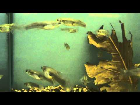 Eastern mosquitofish for Mosquito fish for sale