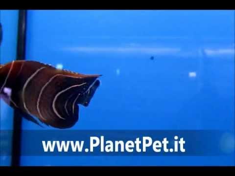 Pomacanthus Semicirculatus – www.PlanetPet.it
