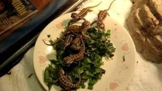 Tips on raising Baby Bearded Dragons - Feeding and Housing